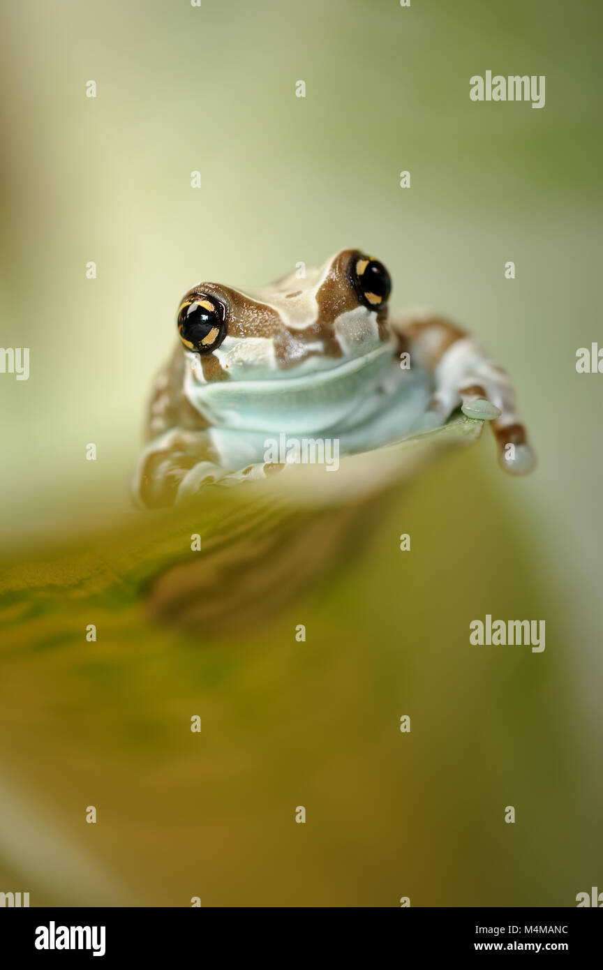 Frog on grean leaf crawl up - Stock Image