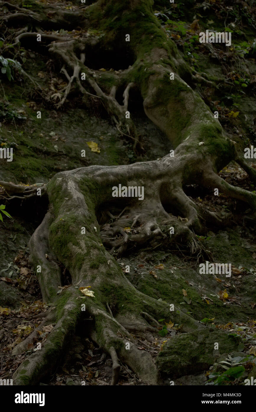 the eerie winding at the rock the root of the tree - Stock Image