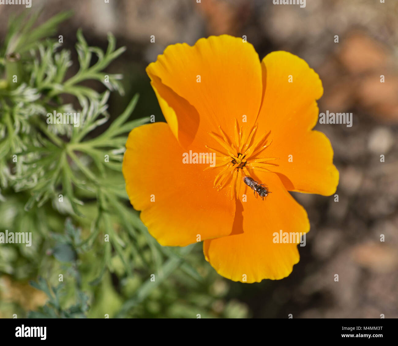 Golden california poppy flower with small insect stock photo golden california poppy flower with small insect mightylinksfo