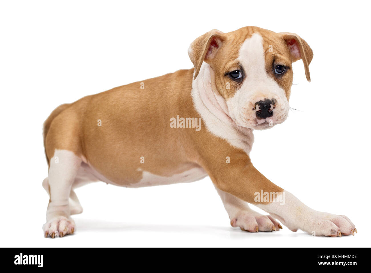 Small orange puppy Staffordshire Terrier, isolated on white background - Stock Image