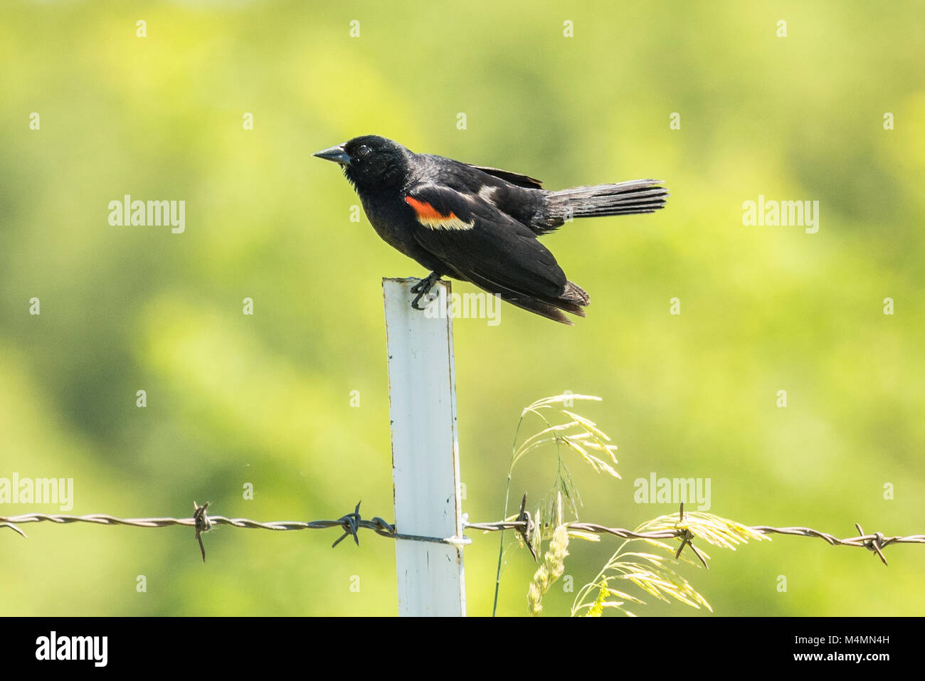 Male Red-winged Blackbird sitting on fence post. - Stock Image
