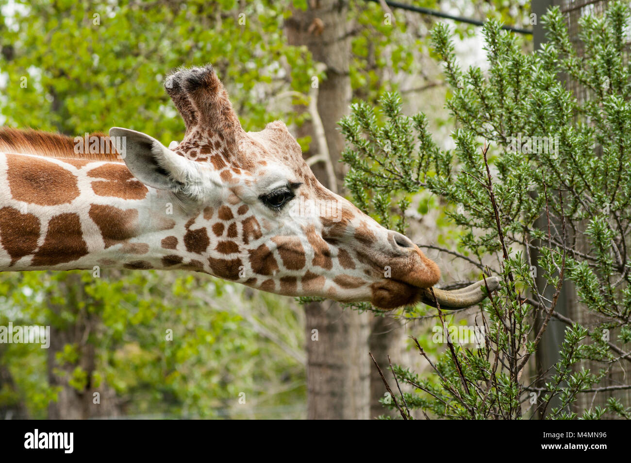 Side head shot of giraffe with tongue eating leaves from a branch Stock Photo
