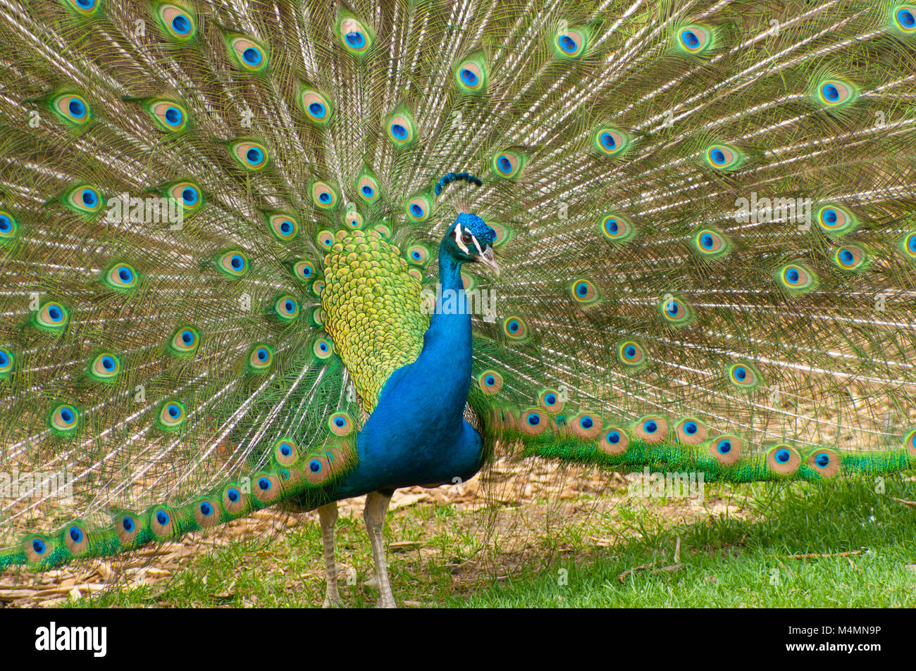 Frontal view of peacock bird standing with tail feathers opened - Stock Image