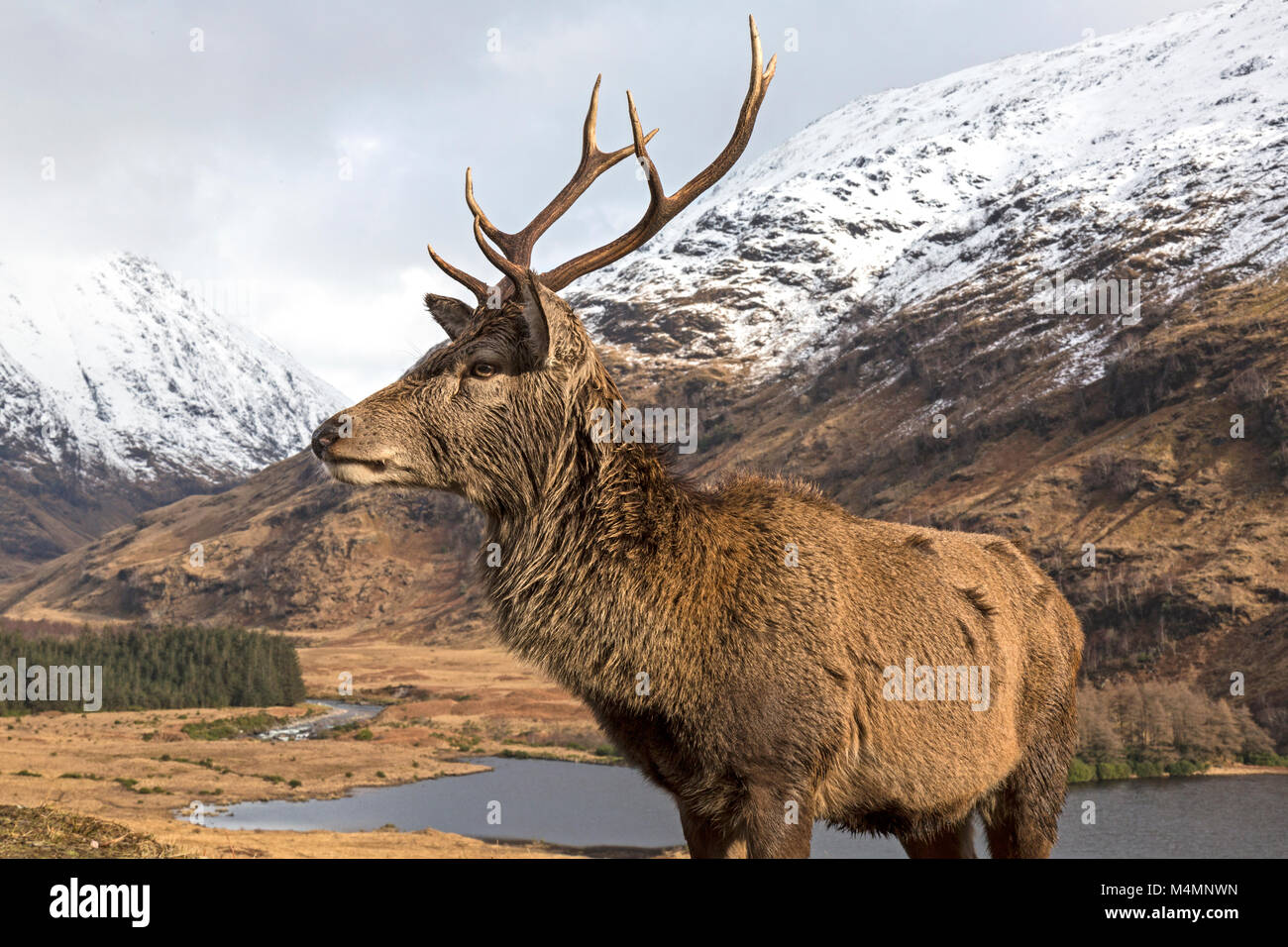 Wild Red Deer (Cervus Elaphus) Stag in Glen Etive, Scotland, during the winter, with snow capped mountains in the - Stock Image