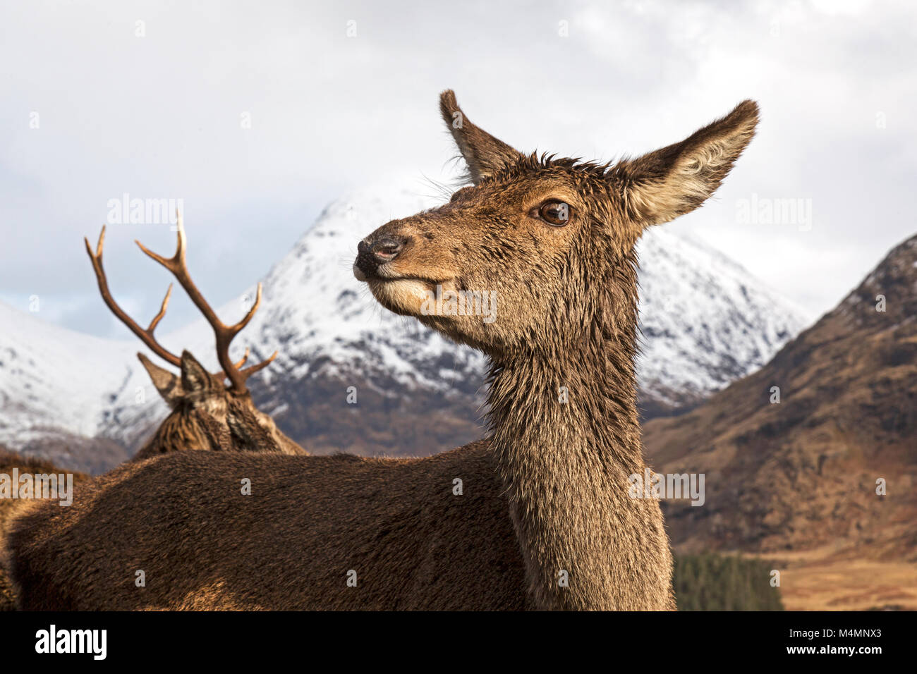 Wild female, or hind, Red Deer (Cervus Elaphus) during winter in  Glen Etive, Scotland. Snow capped mountains behind. - Stock Image