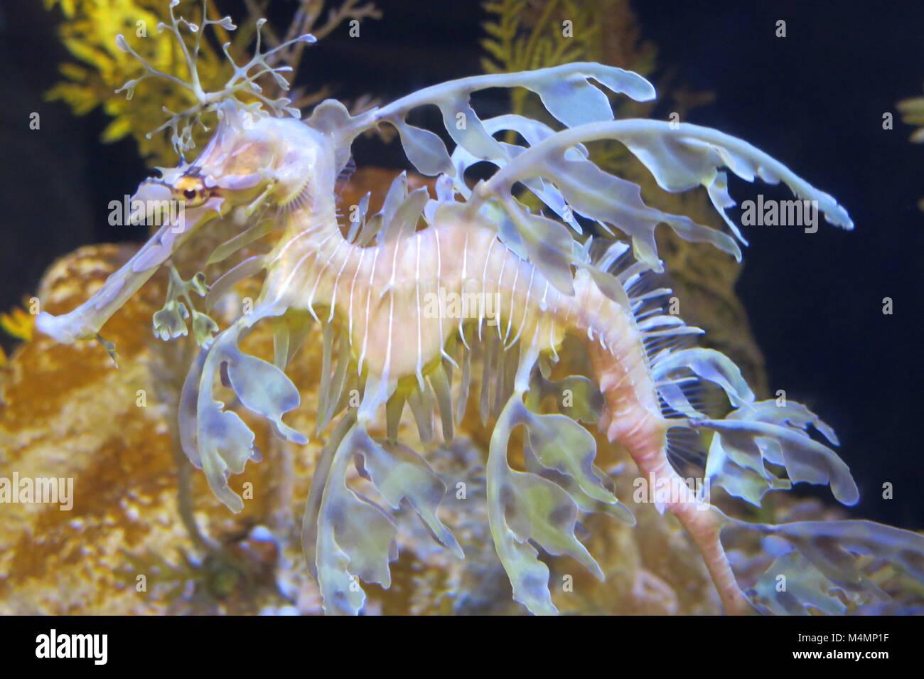 Close up of a leafy seadragon at Birch Aquarium - Stock Image