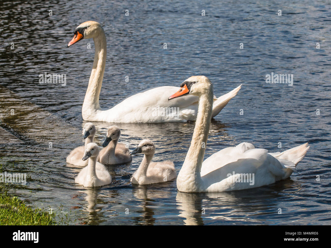Mute Swan Familiy with the two adult and four cygnets Stock Photo