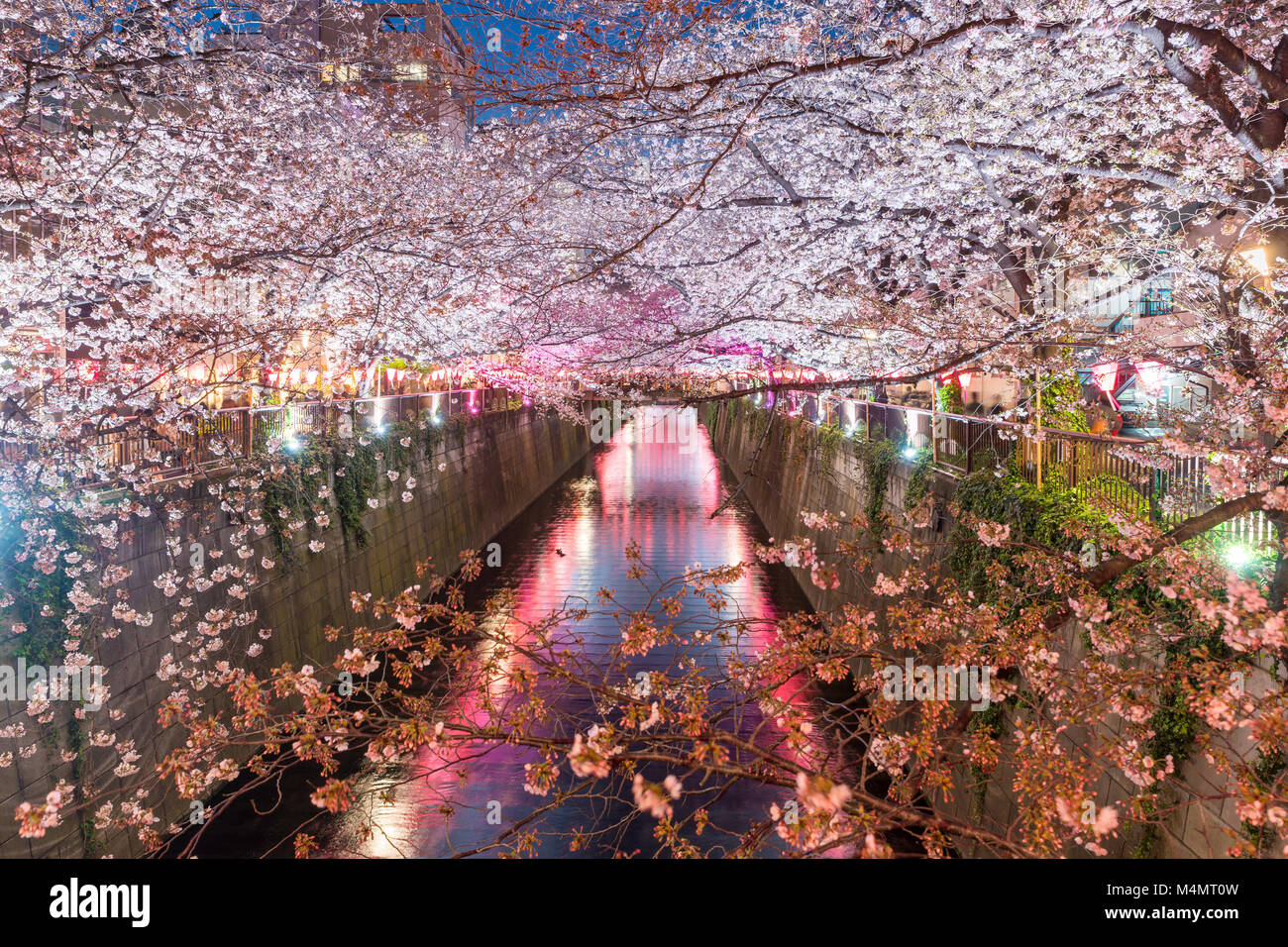 Cherry blossom lined Meguro Canal at night in Tokyo, Japan. Springtime in April in Tokyo, Japan. - Stock Image