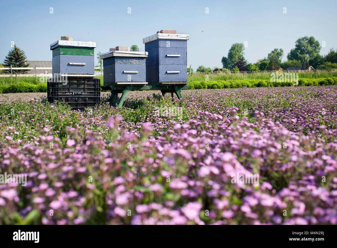 Blue beehives stand in a field with pink flowers, the bees pollinate and supply honey - Stock Image