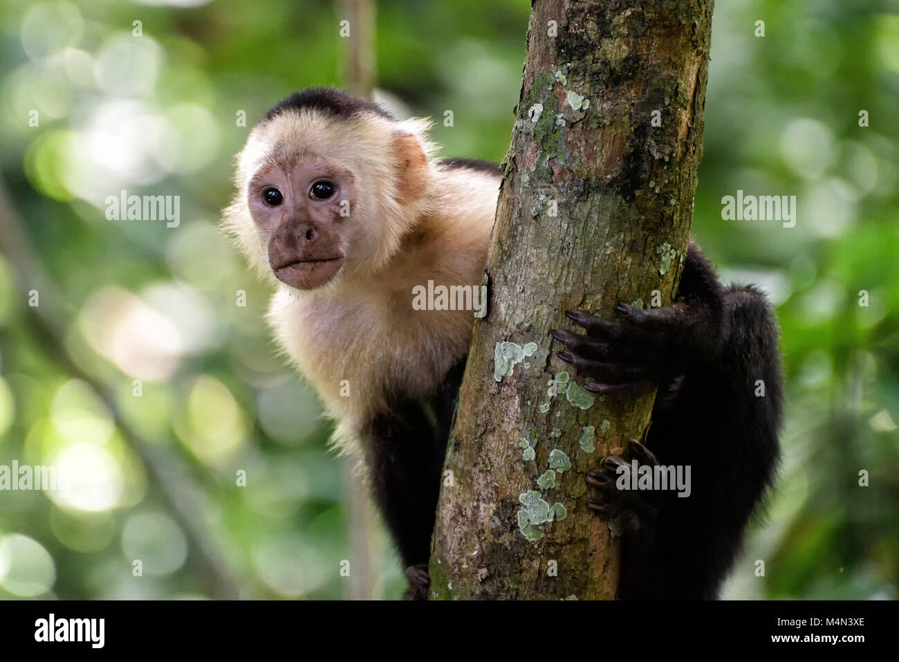 Cebus monkey in a tree in the jungle in central america Stock Photo