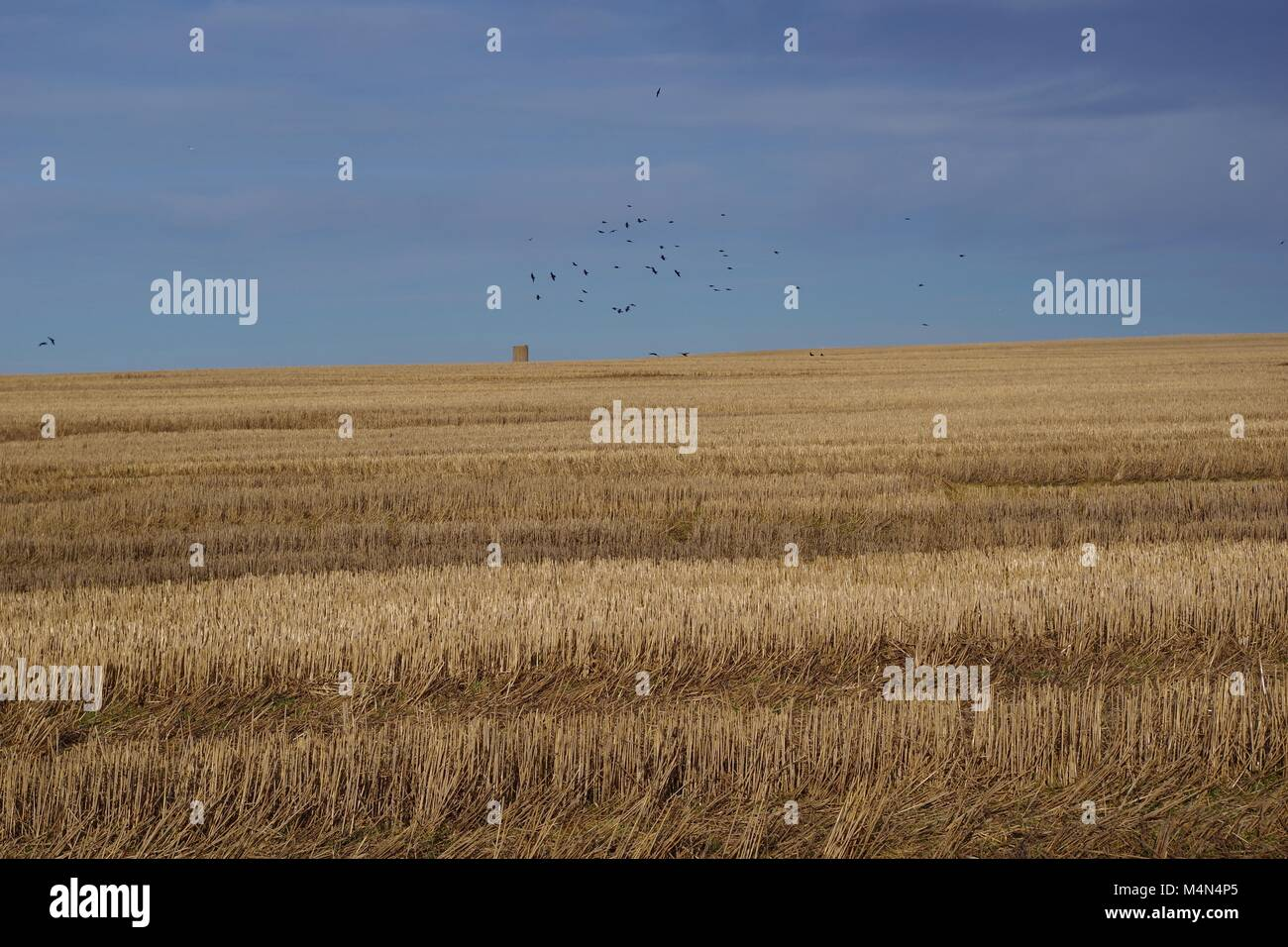 Flock of Crows over Barren Stubbled Winter Fields on a Scottish Farm. New Slains Castle, Cruden Bay, Aberdeenshire, - Stock Image