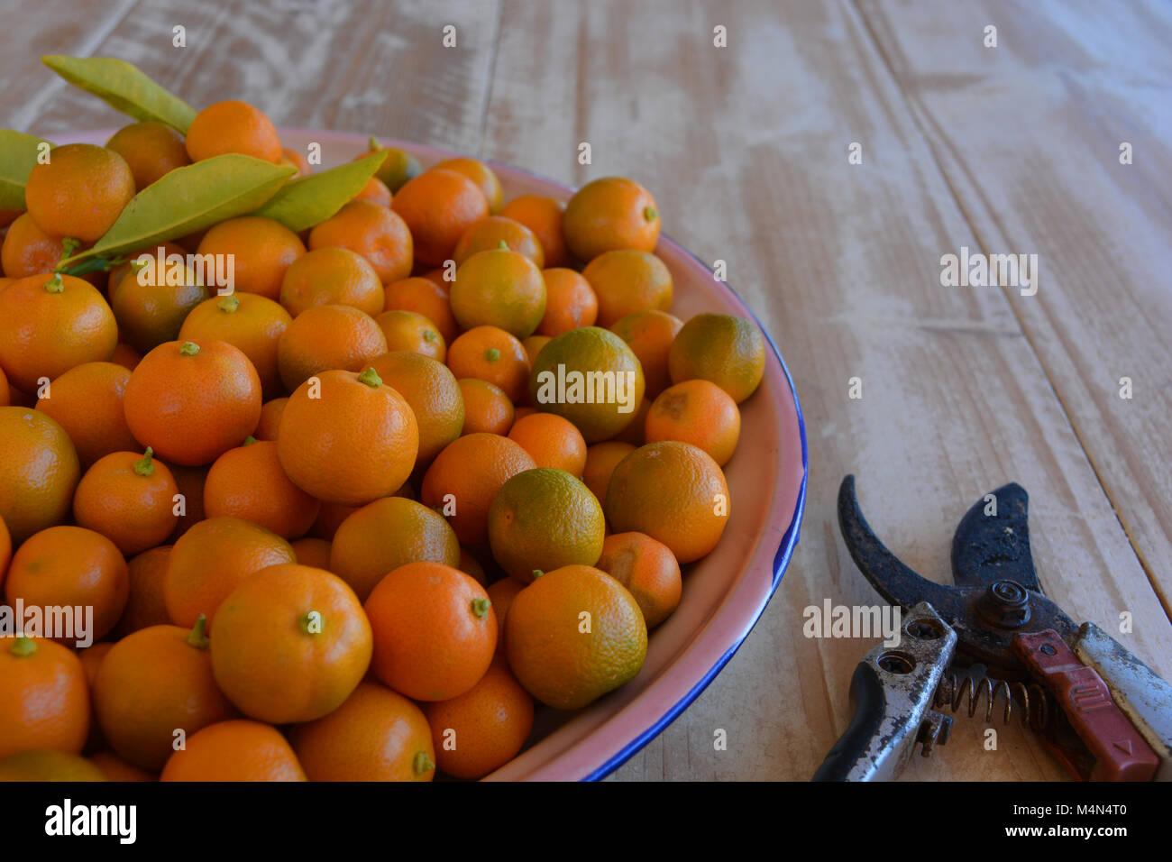 C Microcarpa Stock Photos Images Alamy Limau Kasturi Original New Also Known As Kalamansi Or Calamondin Scientific Name Citrus
