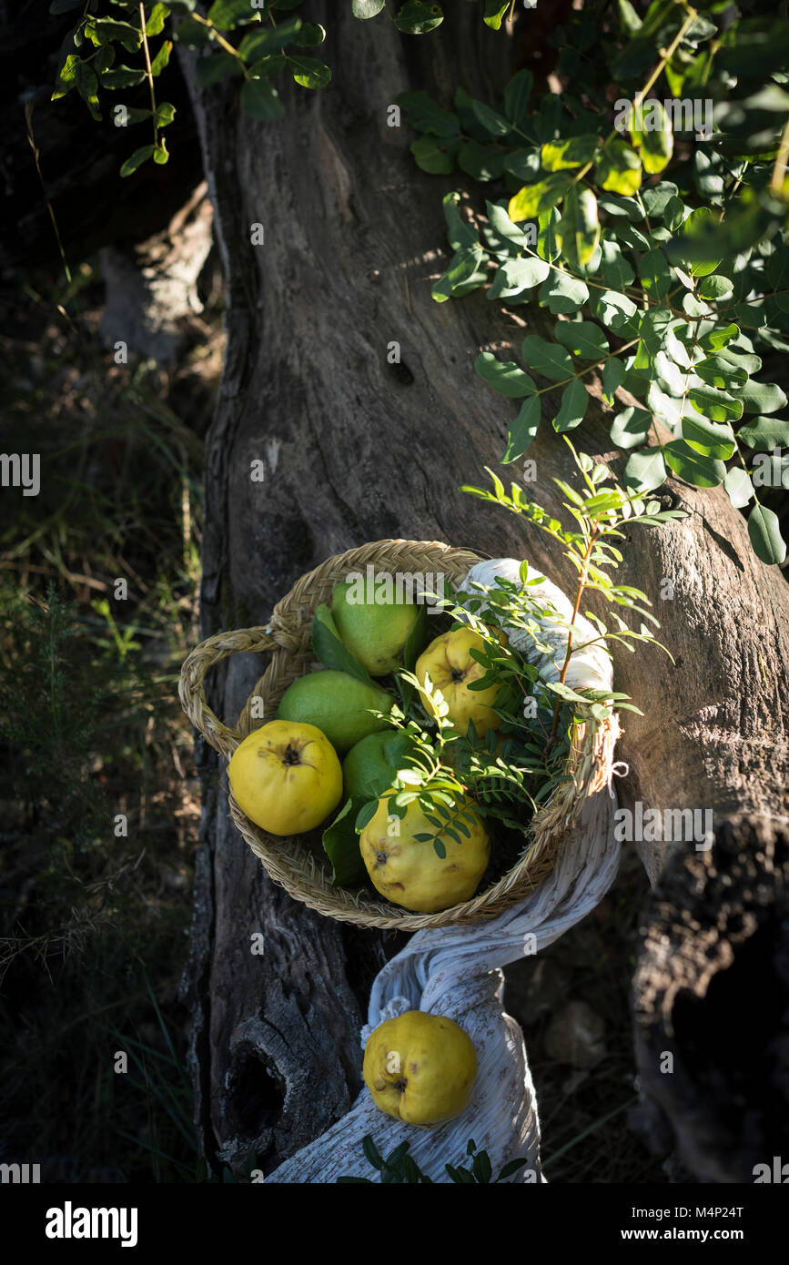 A basket of quimces and lemons on a tree Stock Photo