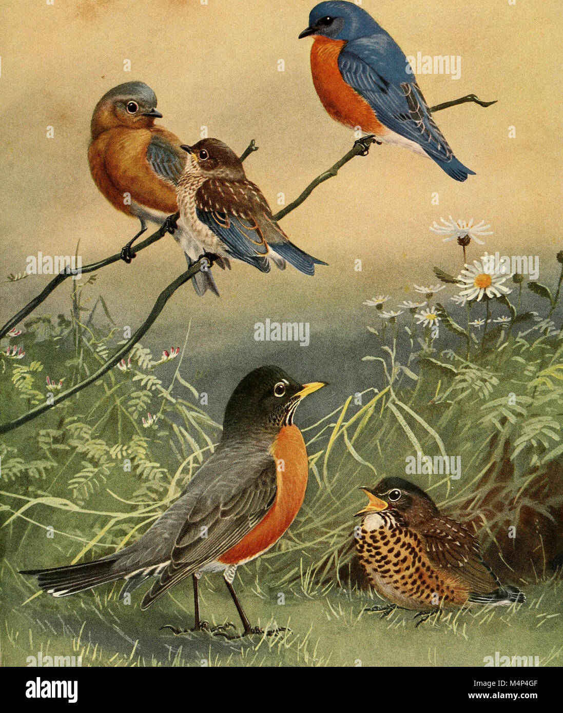 Birds of Massachusetts and other New England states (1925) (19762589024) Stock Photo