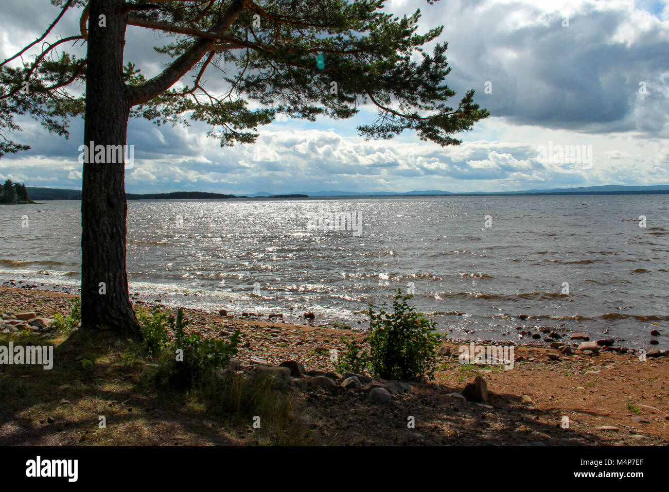 Pine tree at sunny beach by Orsa lake in Sweden in summer. - Stock Image