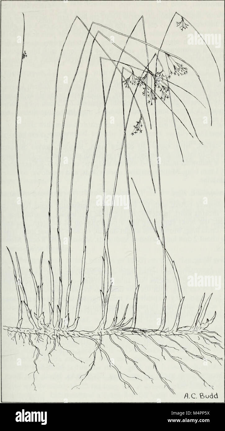 Budd's flora of the Canadian Prairie Provinces (1987) (20393872496) Stock Photo