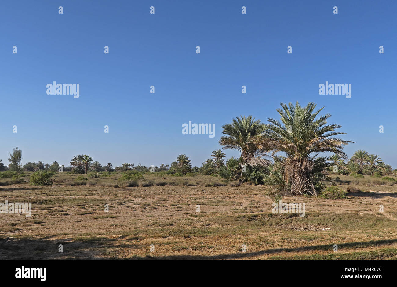 palm trees growing on dry plain  Tulear, Madagascar              November - Stock Image