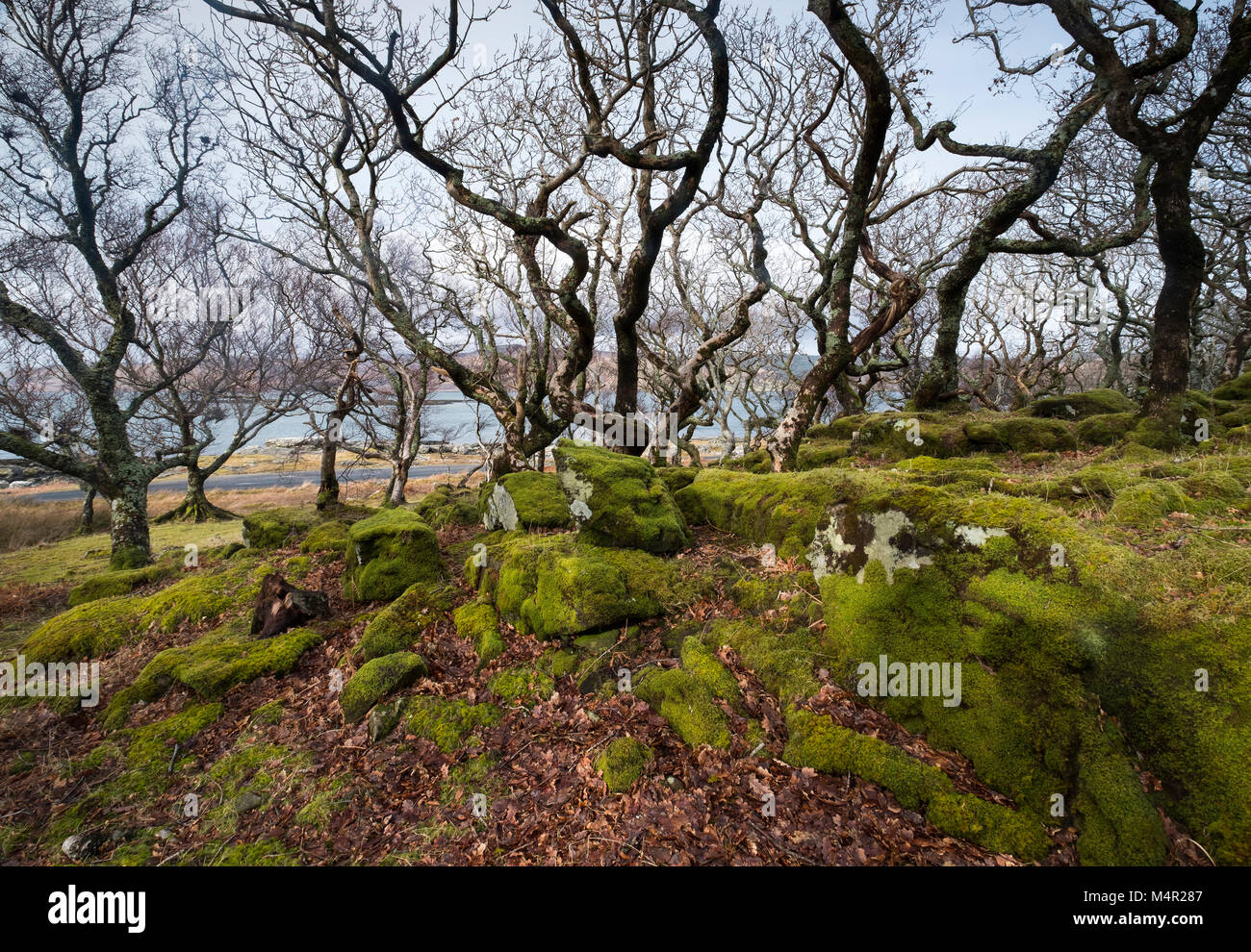 Sessile Oak (Quercus petraea) dwarfed woodland habitat, bent and stunted by wind, Isle of Mull, Inner Hebrides, - Stock Image