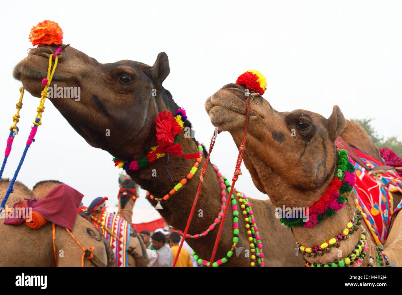 Two camels decorated for Pushkar's annual camel fair. this fair is world's largest camel fair, which is - Stock Image