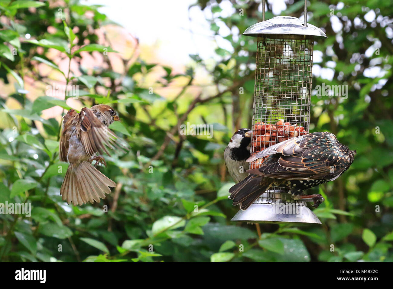 Garden Birds hungrily devouring peanuts from a garden bird feeder. - Stock Image