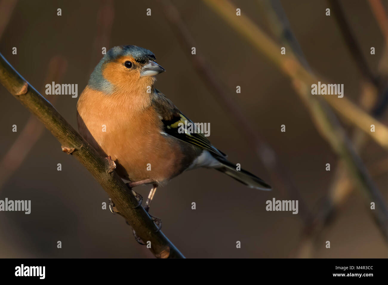 Male Chaffinch Perched looking to the Right - Stock Image
