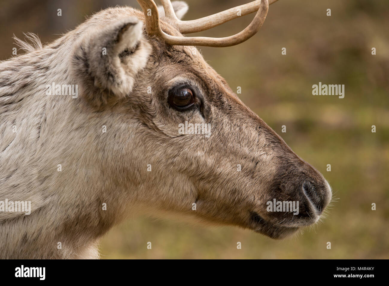 A brown reindeer with big eyes shot in Lapland, Finland in the spring - Stock Image