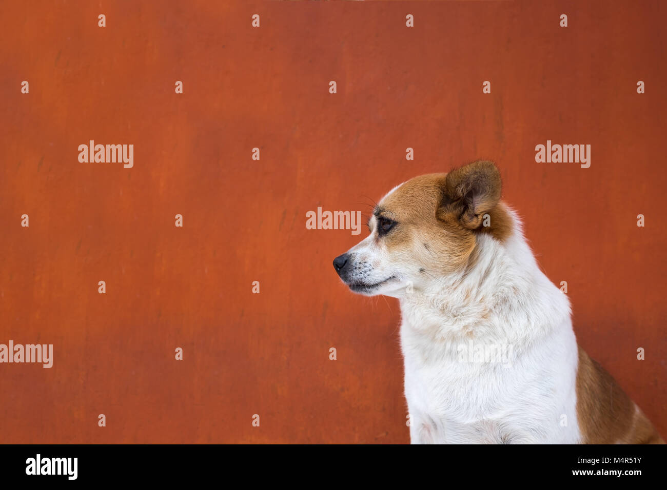 White and frown ugly dog look arrogant. Side view - Stock Image