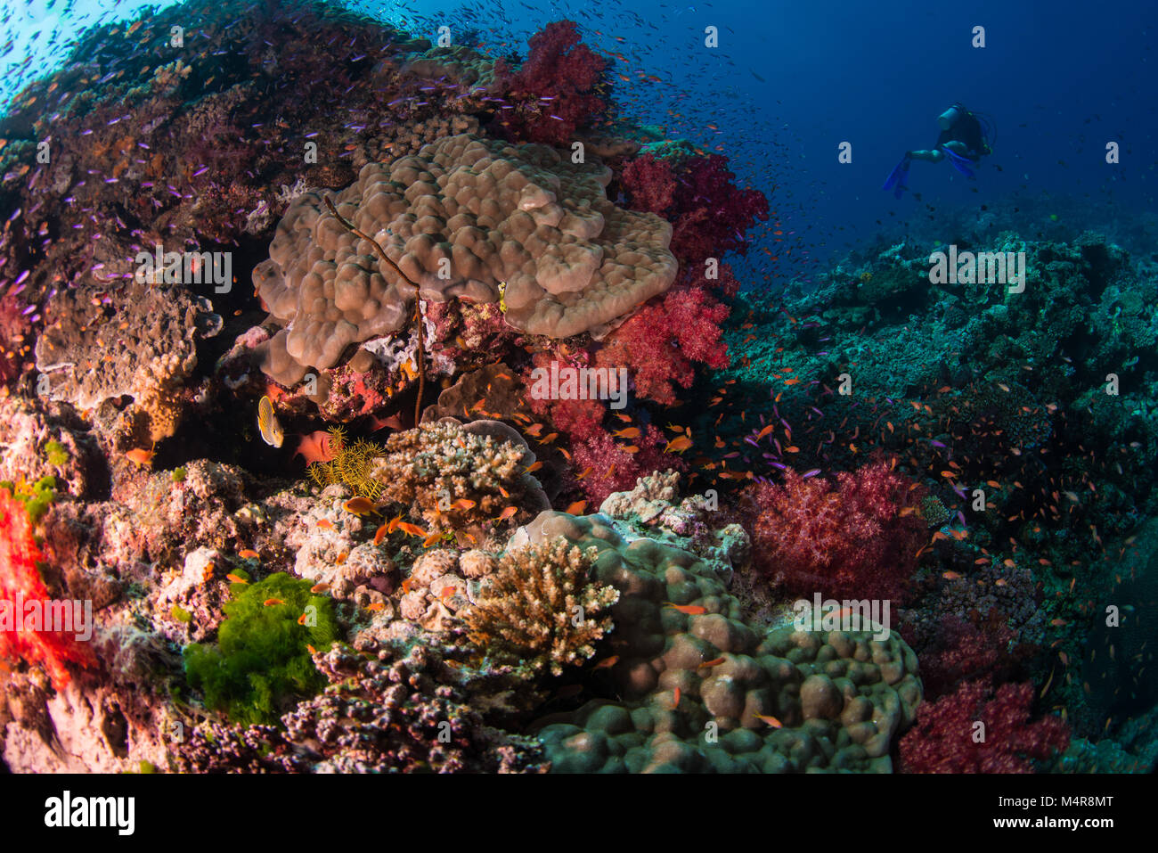 A multitude of different hard corals on the reef - Stock Image