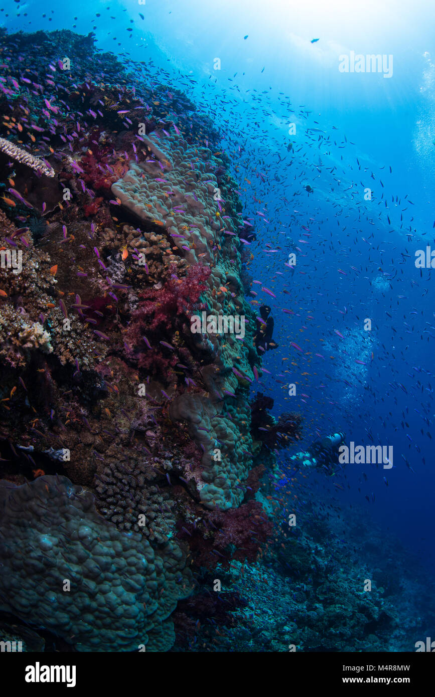 Divers swimming by a hard coral reef - Stock Image
