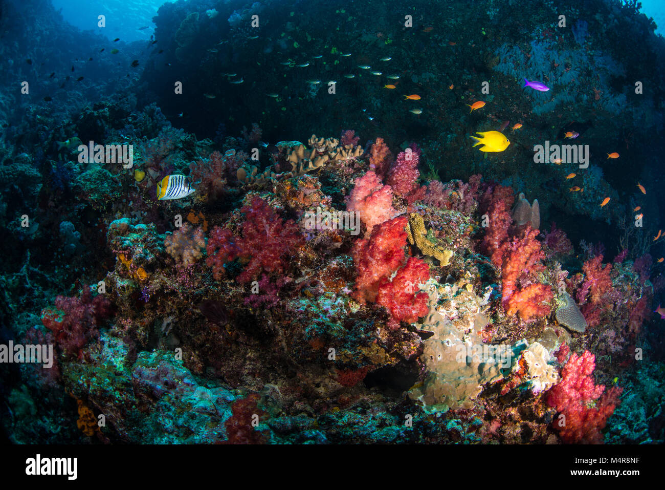 Yellow damsel fish and other fish swimming over a coral reef with soft corals - Stock Image