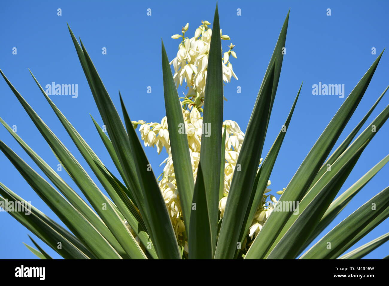 Yucca in in bloom displaying it's creamy white flowers, NSW Mid North Coast, Australia - Stock Image