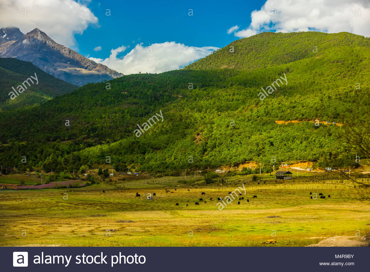 Yaks grazing on a mountainside near Lijiang, Yunnan Province, China. - Stock Image