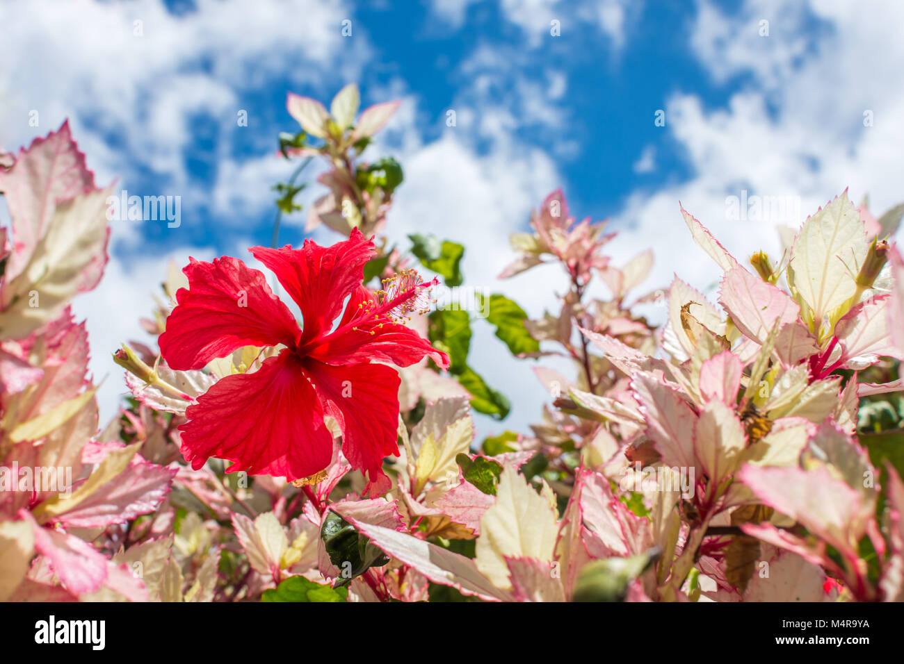 A beautiful red hawaiian hibiscus in full bloom soaking in the sun a beautiful red hawaiian hibiscus in full bloom soaking in the sun on a warm and clear summer day izmirmasajfo