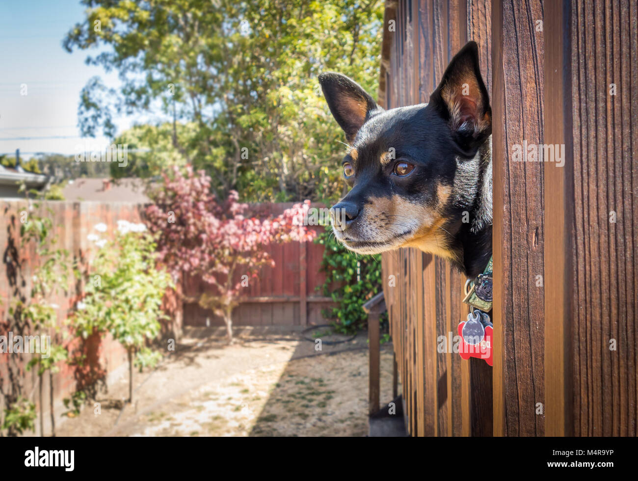 An adult Miniature Pinscher poking his head out from a wooden deck, staring off into the distance. - Stock Image