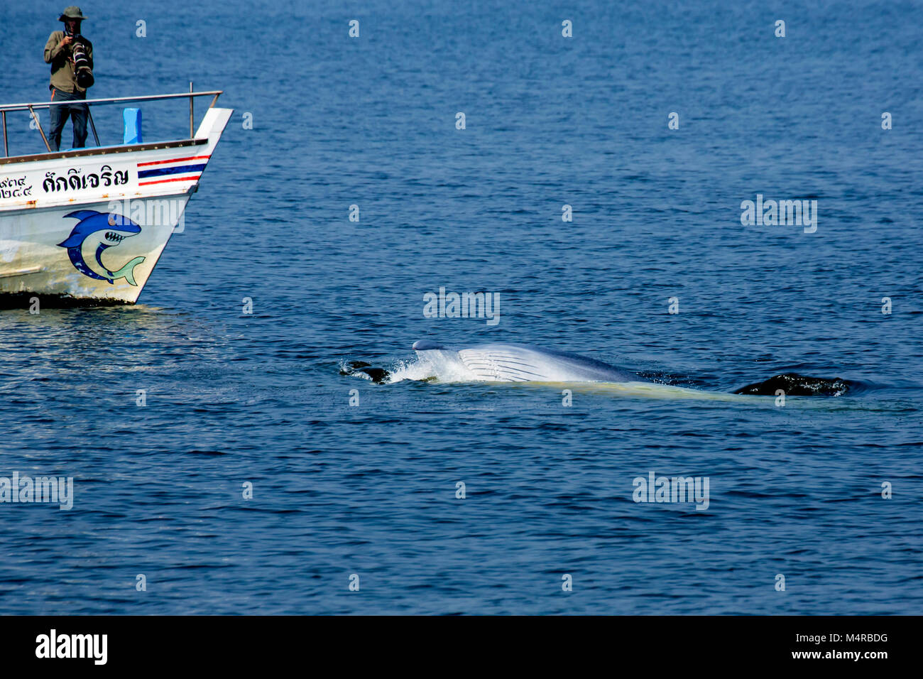 Eden's Whale (Balaenoptera edeni), a pending split from Bryde's Whale, doing people watching - Stock Image