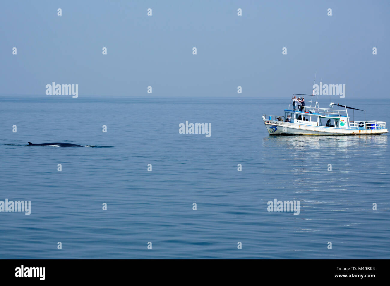 Eden's Whale (Balaenoptera edeni), a pending split from Bryde's Whale, is characterized by 5 rostrum ridges - Stock Image