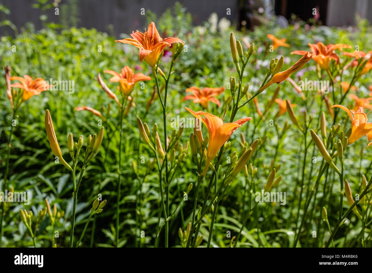 Growing Tiger Lily Flowers Siberia Russia Stock Photo 175076362