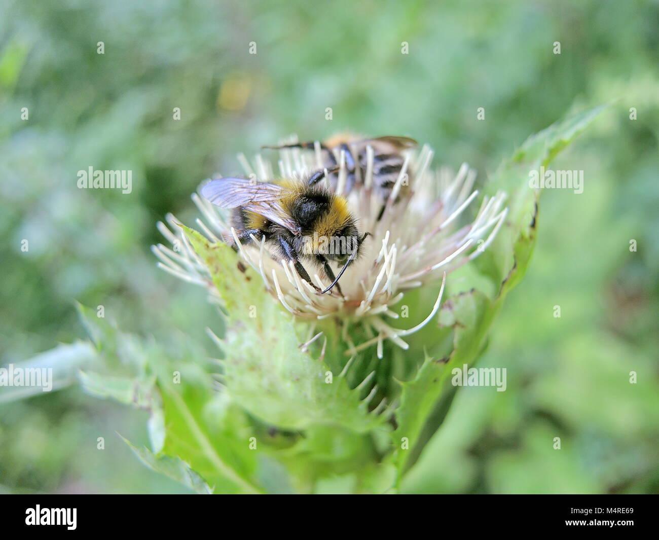 Wild bees 4 - Stock Image