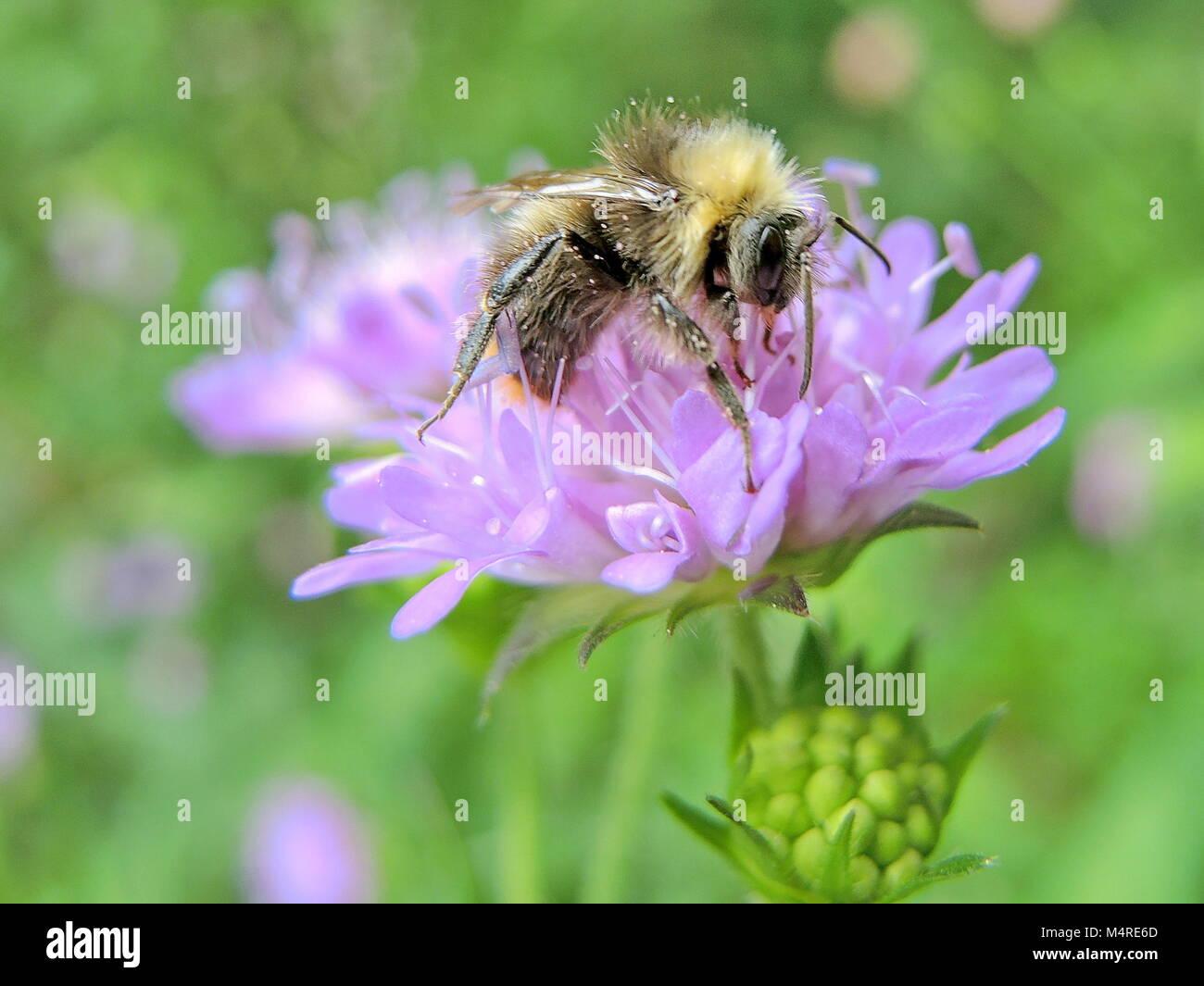 Wild bees 8 - Stock Image