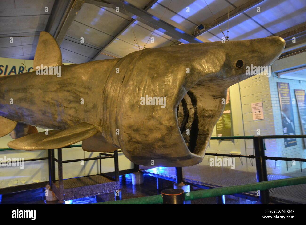 Manx basking shark model at Anglesey Sea Zoo, Aquarium - Stock Image