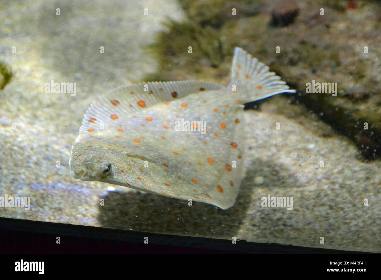 Flatfish hovering over the sand at Anglesey Sea Zoo, Aquarium - Stock Image