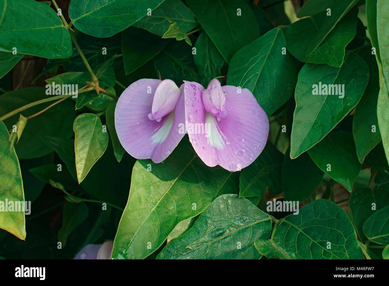 Wild blue vine stock photos wild blue vine stock images alamy spurred butterfly pea centrosema virginianum called wild blue vine blue bell and izmirmasajfo