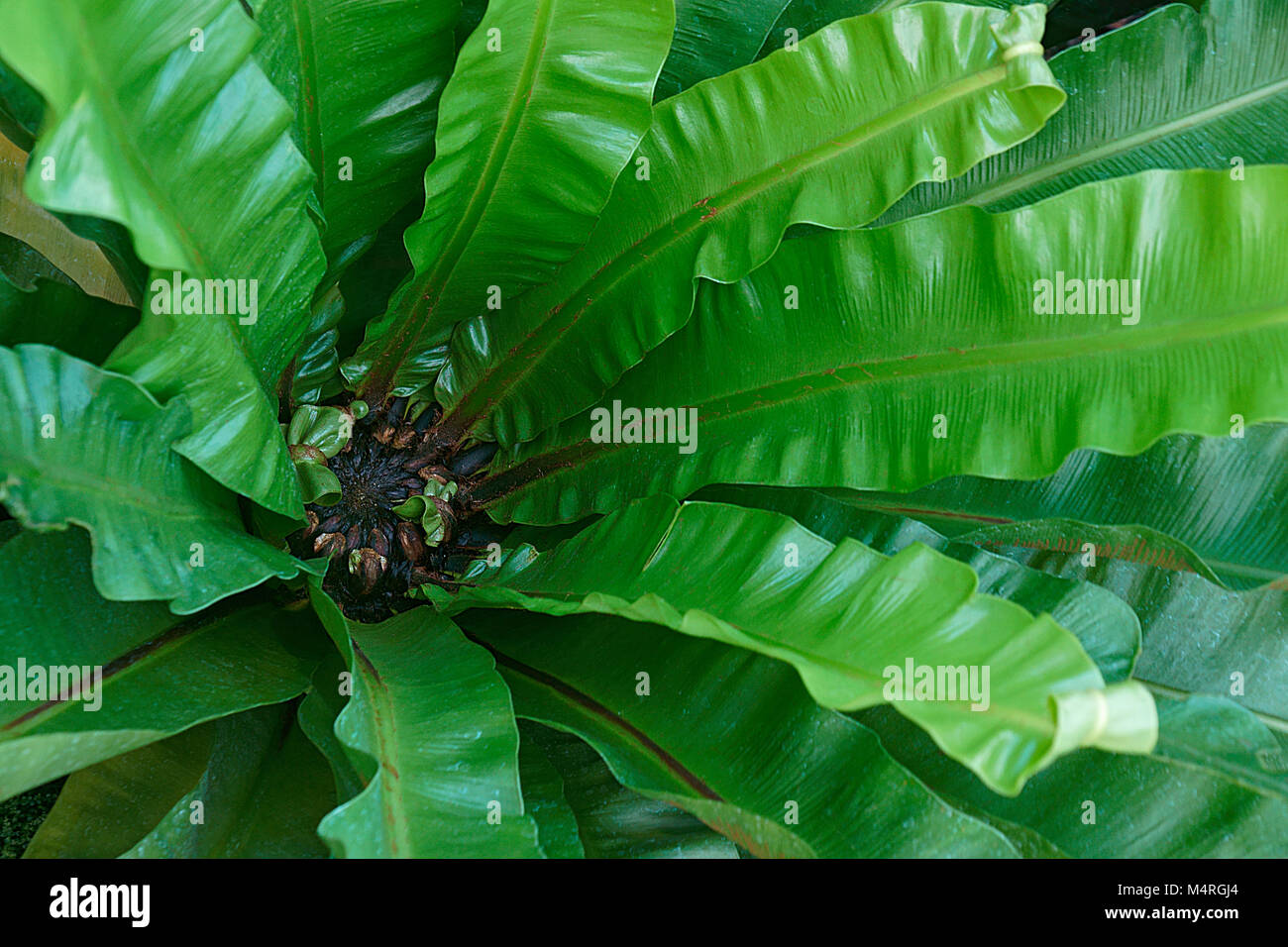 Taiwan cycad (Cycas taiwaniana) - Stock Image