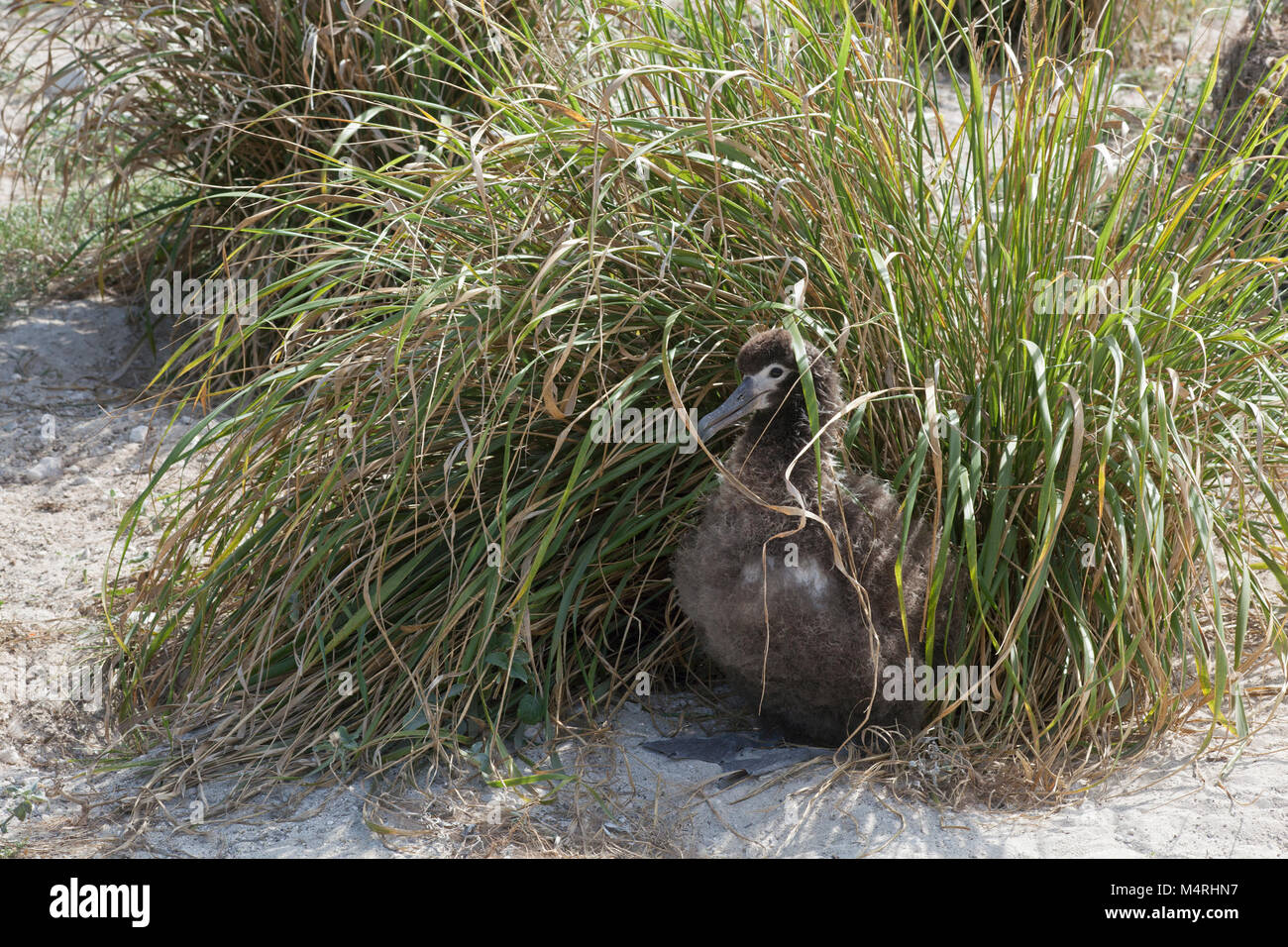 Laysan Albatross chick sheltering from hot sun in Bunch Grass (Eragrostis variabilis), a native species planted Stock Photo