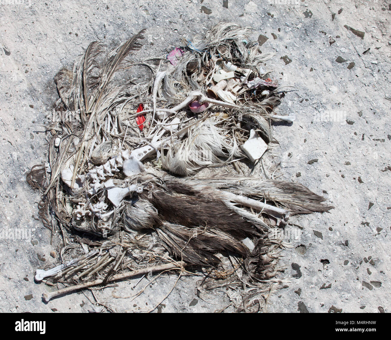 Remains of dead Laysan Albatross with a bottle cap and other plastic marine debris which were ingested by the bird - Stock Image