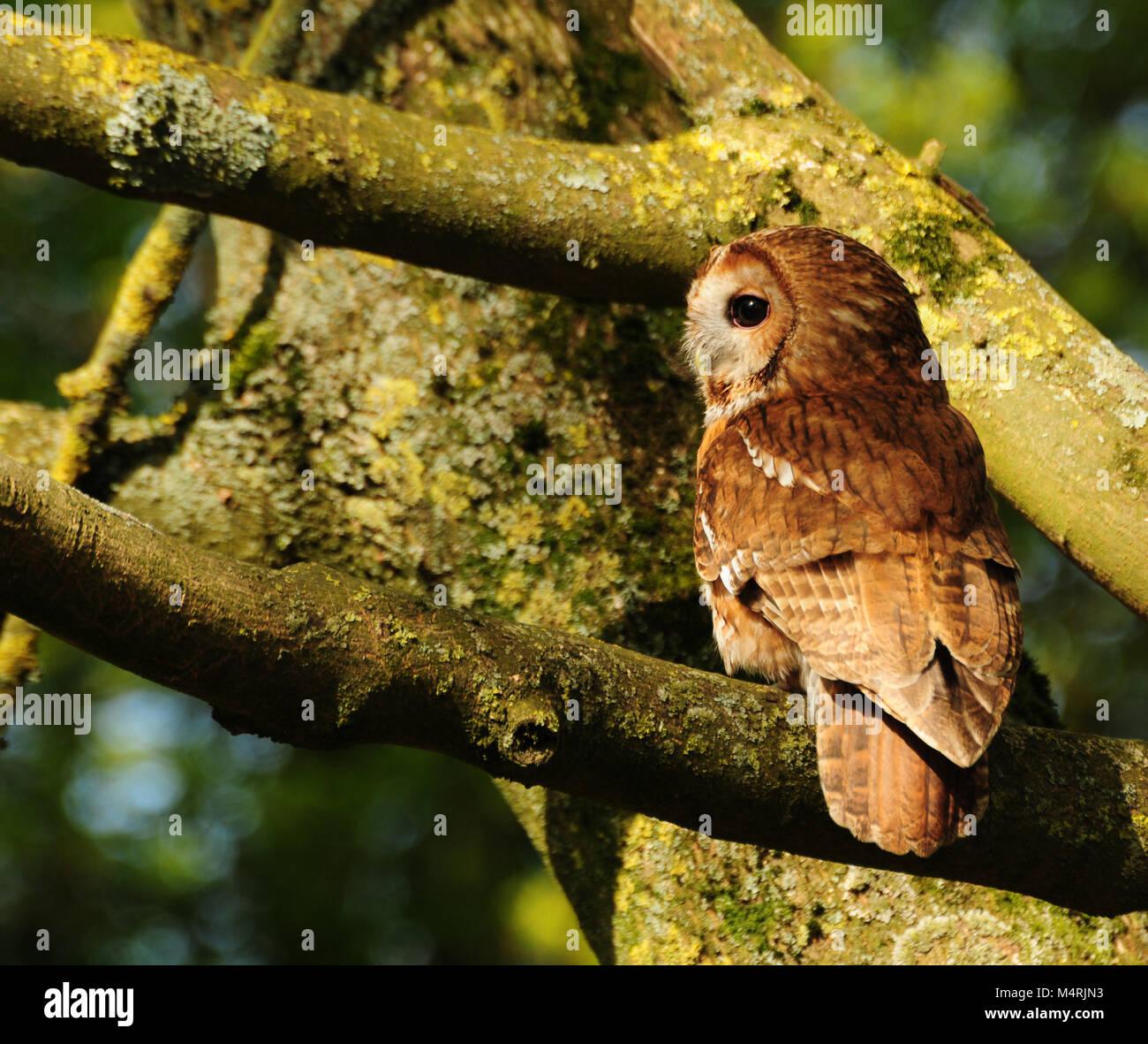 tawny owl in uk woodland - Stock Image