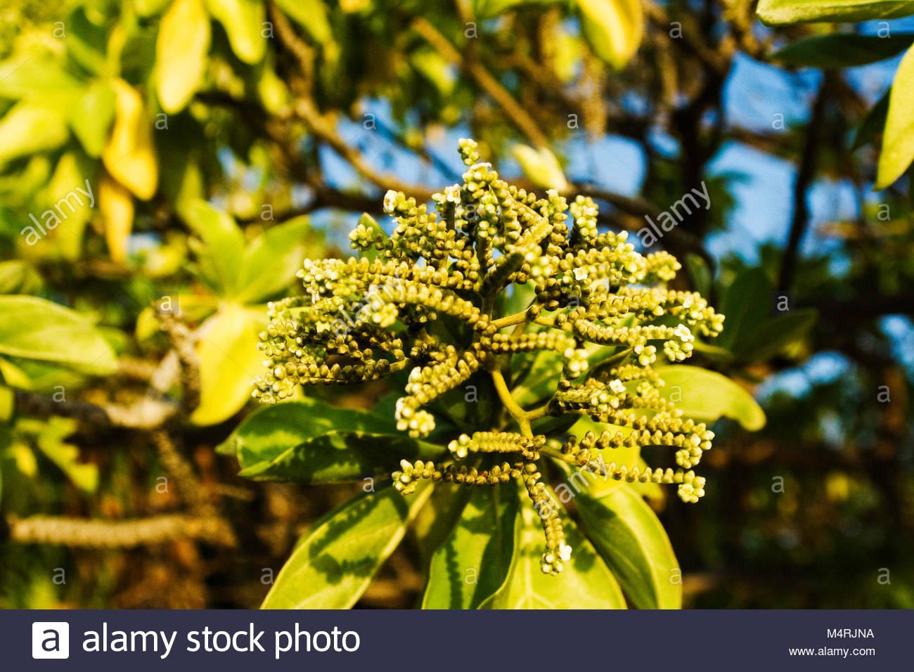 Tropical flower in Kiribati republic - Stock Image