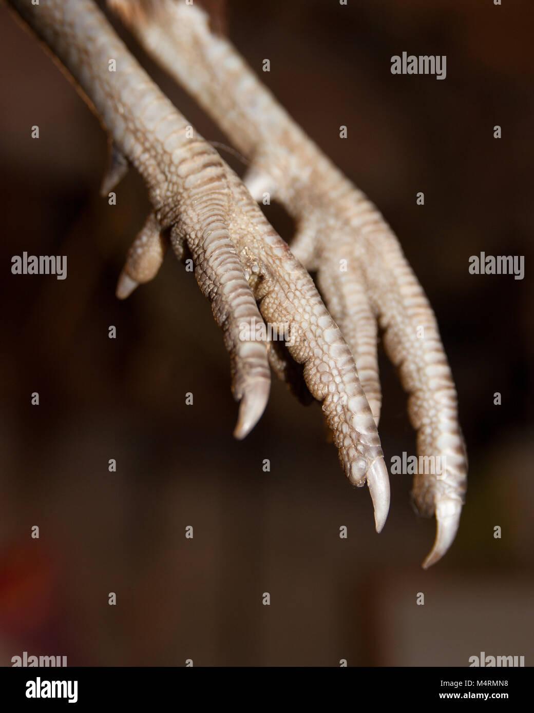 Scaly dinosaur like bird pheasant legs and feet - Stock Image