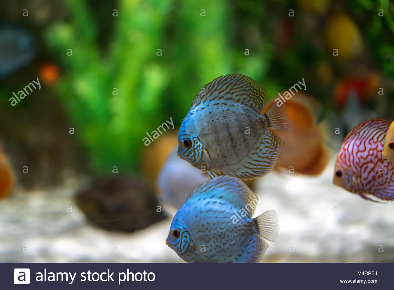 Symphysodon discus fish in an aquarium Stock Photo: 175084858 - Alamy