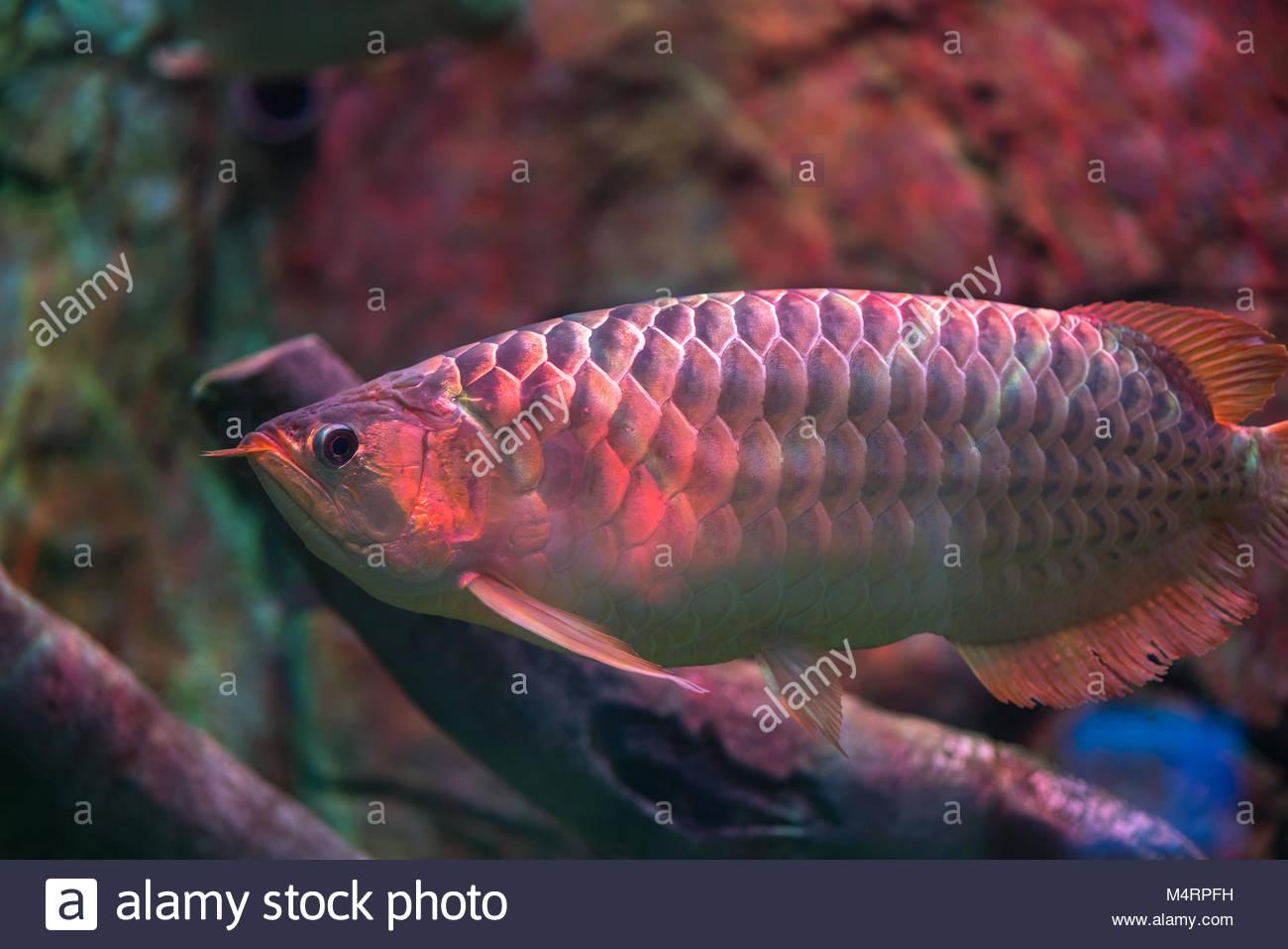 Red arowana fish Stock Photo: 175084885 - Alamy